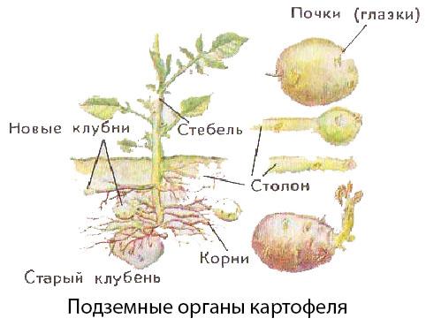 Подземные органы картофеля