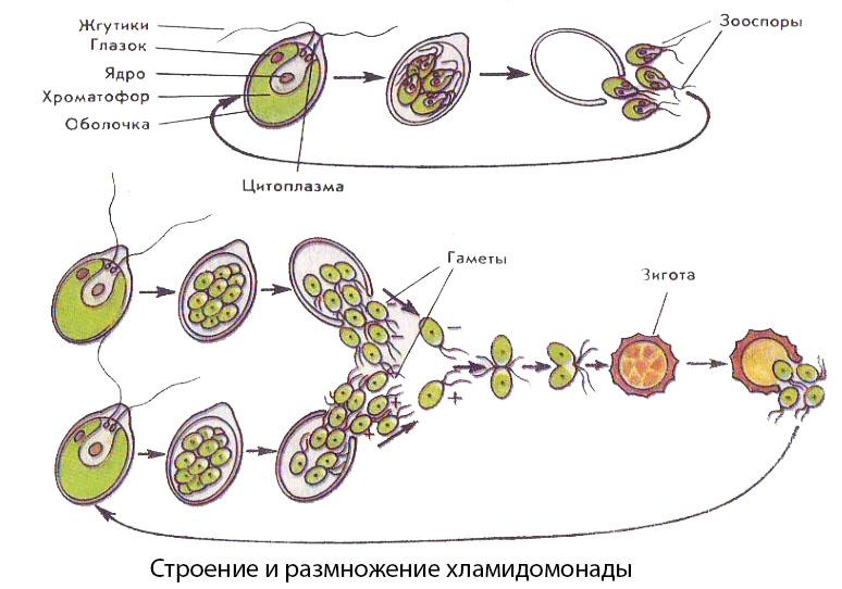 Строение и размножение хламидомонады